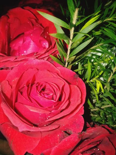 Rose 🌹 ❤ EyeEmNewHere Flower Growth Red Nature Plant Petal Flower Head Beauty In Nature No People Close-up Rose - Flower Freshness