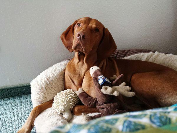 Dog Domestic Animals Mammal Indoors  Ijuma Von Terra Lebusana Vizsla Life Vizsla Vizslaoftheday
