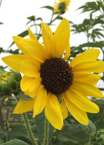 Freshness Yellow Springtime Sunflower Country Life In Bloom