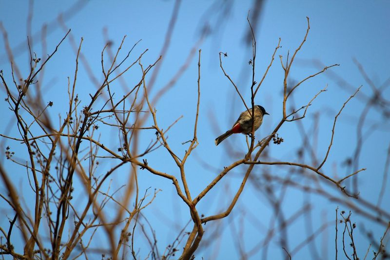 Bul Bul Bird Nature Tree Bird Of Prey Sky Day High Angel View Beauty In Nature Bird Photography Canonphotography Canon_official Full Length Winter Wallpaper Branch Dry Tree Dry Season Dry Branches Twigs And Branches Twigs