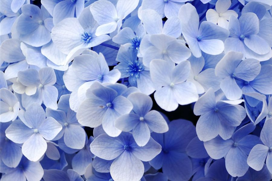 Freshness Flower Beauty In Nature Blue Flower Head Close-up No People Outdoors Day Hydrangea Petal Nature Plant Growth NX300M Summer Nature Photography Favorite Picture Fragility EyeEm Nature Lover Backgrounds Popular Photos EyeEm Korea Hsun Photography
