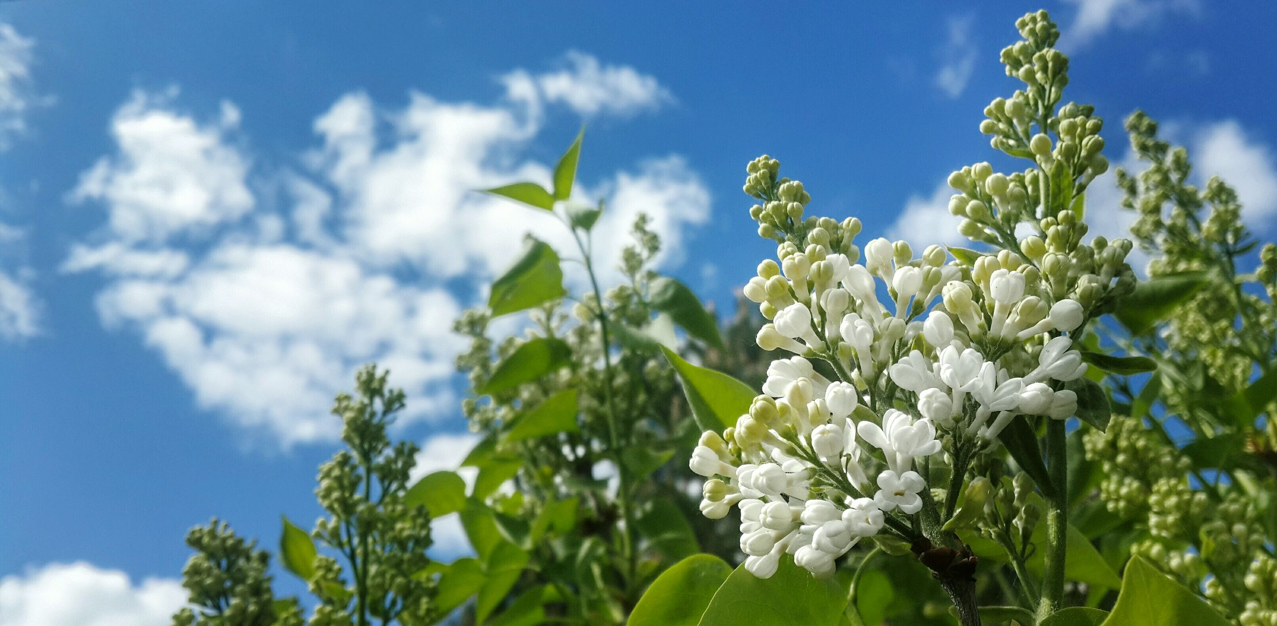 flower, growth, sky, freshness, fragility, low angle view, beauty in nature, nature, leaf, white color, plant, blue, cloud - sky, petal, close-up, focus on foreground, blooming, cloud, green color, day