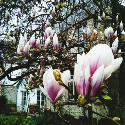 Flowerporn in Spring in my neighbourhood. Magnolia