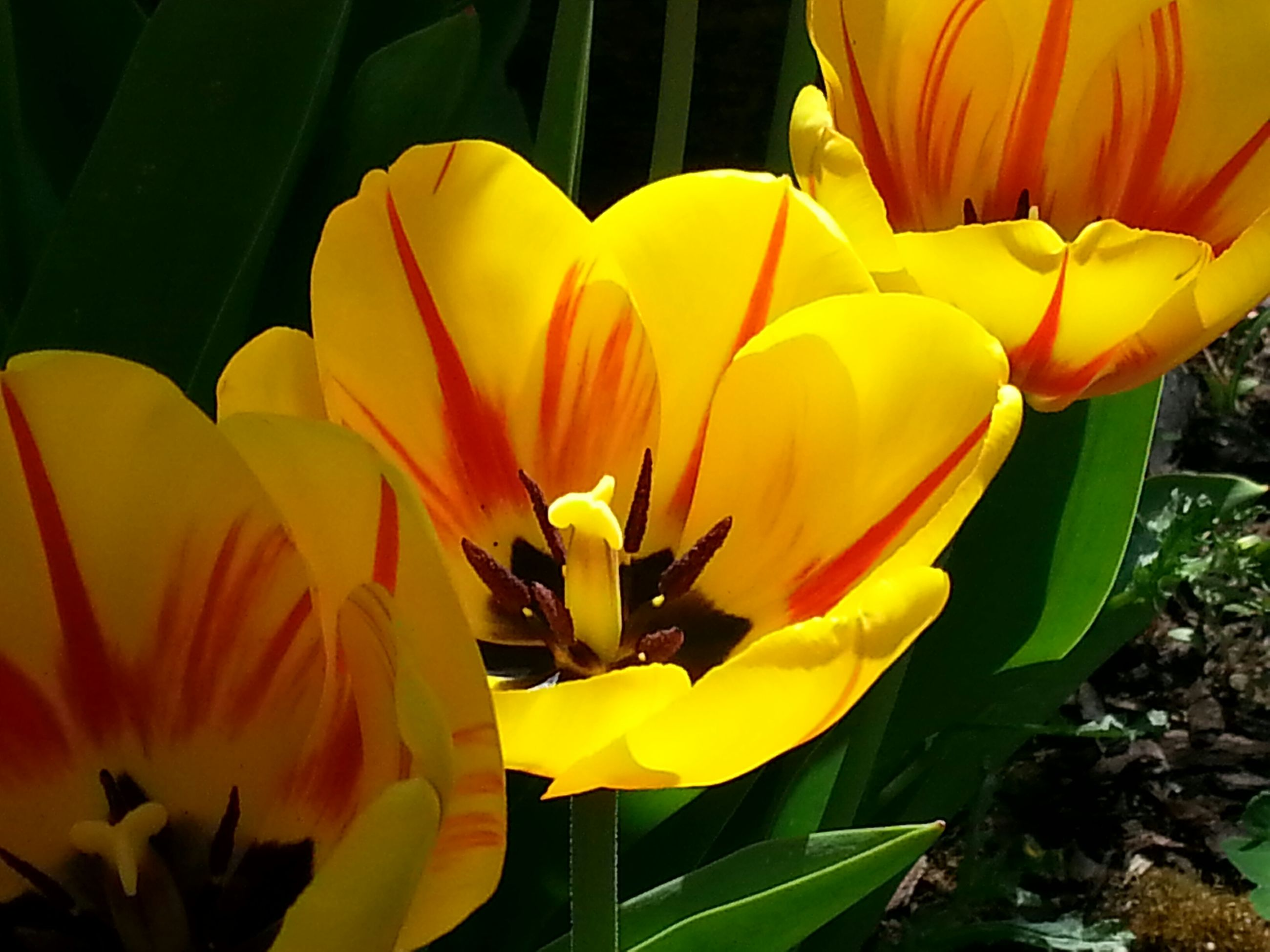flower, petal, yellow, freshness, growth, fragility, flower head, beauty in nature, plant, nature, blooming, leaf, close-up, tulip, sunflower, in bloom, blossom, stem, botany, sunlight