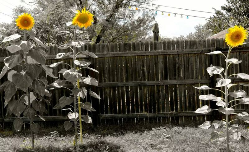 The coolest flower you can grow! Sunflowers Photos Check This Out Amazing