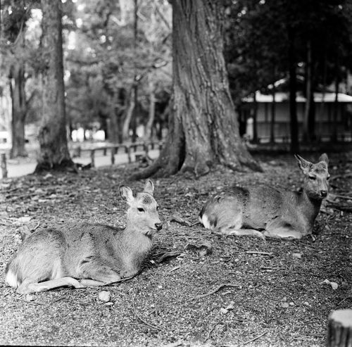 Animals In The Wild Deer Film Nature Wildlife & Nature Animal Animal Themes Animal Wildlife Black And White Blackandwhite Blackandwhite Photography Close-up Day Deers Film Photography Filmcamera Filmisnotdead Hasselblad Mammal Monochrome Natur Nature_collection Outdoors Tree Two Animals