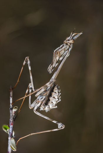 Empusa Focus On Foreground Close-up No People Plant Nature Invertebrate Animal Themes Day Animal Animal Wildlife Animals In The Wild Dry Twig Outdoors Insect One Animal Plant Stem Beauty In Nature Dried Plant Wilted Plant Empusa Empusa Pennata