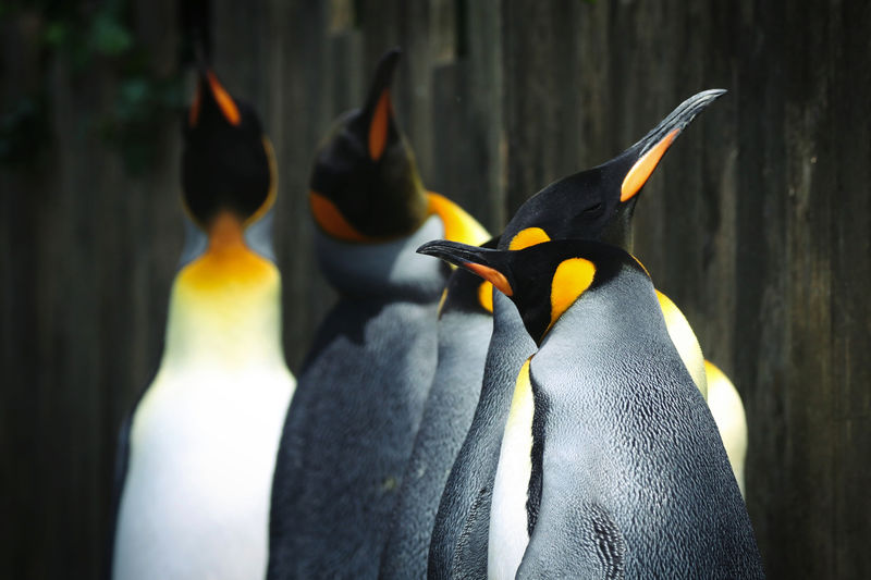 King Penguin Animal Animal Family Animal Themes Animal Wildlife Animals In Captivity Animals In The Wild Beak Beauty In Nature Bird Close-up Day Focus On Foreground Group Of Animals Nature No People Outdoors Penguin Two Animals Vertebrate