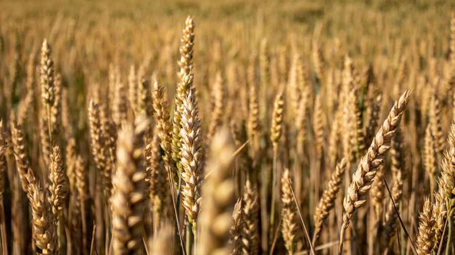 Golden wheat field Cereal Plant Crop  Agriculture Wheat Rural Scene Field Landscape Farm Plant Nature Land No People Barley Food Close-up Sunlight Backgrounds Gold Colored Day Outdoors Ripe Rye - Grain Oat - Crop Food And Drink