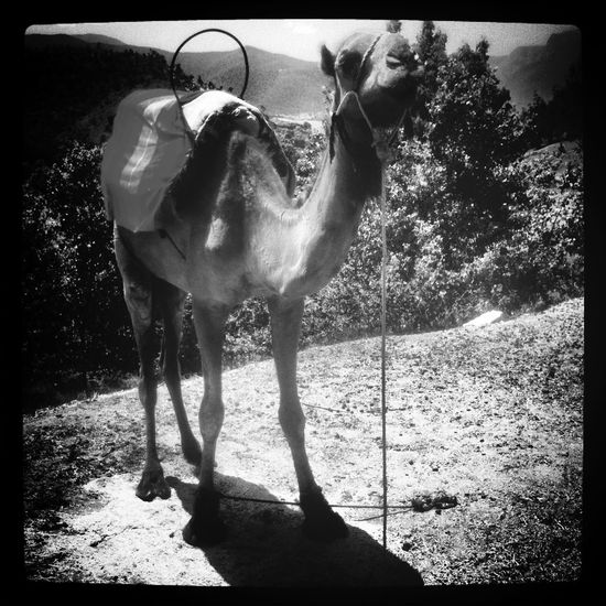 Autoportrait Retrato Camel Camello
