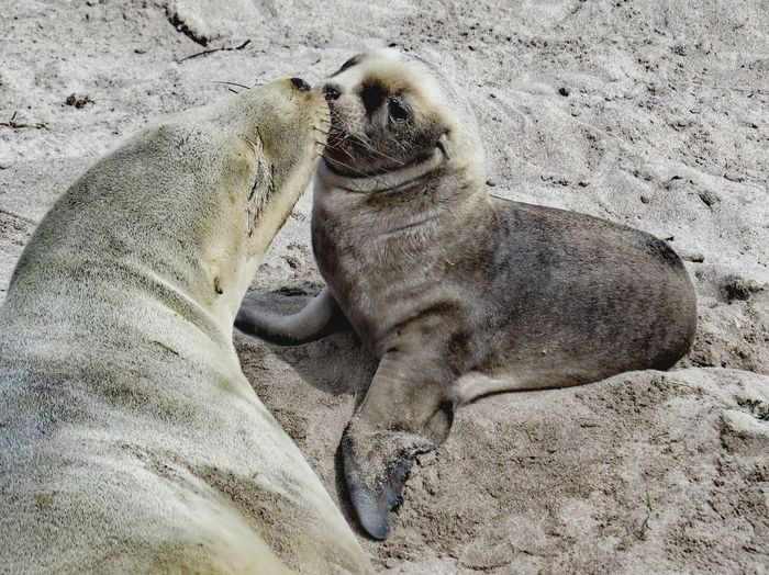 New Zealand Sea Lion pup and mum Sub Antarctics Uncommon  Wildlife Auckland Islands Enderby Island Threatened Species Endemic Rare New Zealand Sea Lion Hookers Sea Lion Whakahao Puppy Love Pup Sand Beach Animal Themes Animals In The Wild Day Nature No People Animal Wildlife Mammal Sand Dune Outdoors