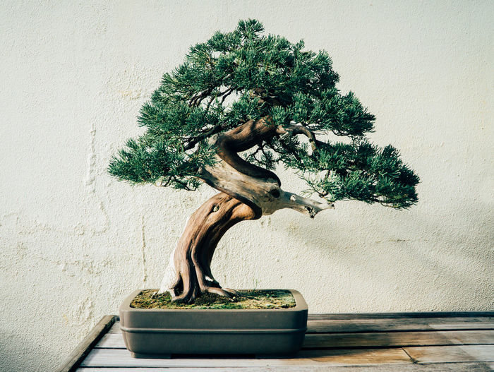 Bonsai Tree Close-up Day Growth Indoors  Nature No People Plant Single Tree Table Tree