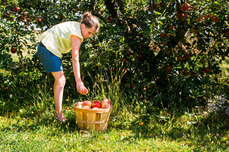 Agriculture Basket Casual Clothing Child Childhood Container Food Food And Drink Freshness Fruit Full Length Grass Growth Harvesting Healthy Eating Nature One Person Organic Outdoors Picking Plant Ripe Wellbeing