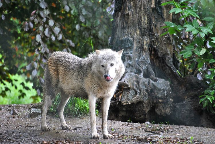 Portrait Of Wolf By Tree