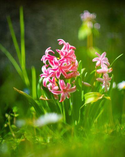 Hyacinth reborn