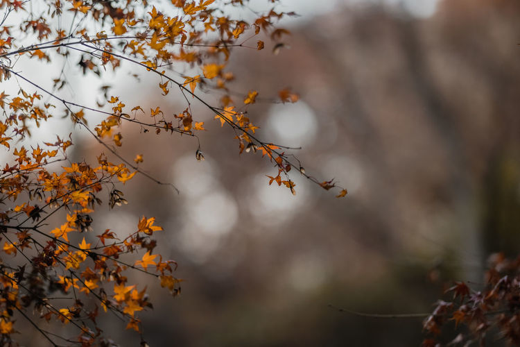 Low angle view of autumnal tree against blurred background