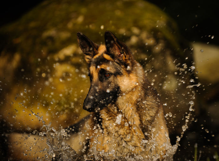 German Shepherd dog Animal Day Dog German Shepherd Natural Light One Animal Outdoors Pet Shepherd
