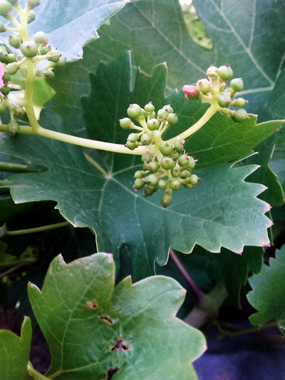 Beauty In Nature Blossom Close-up Day Freshness Fruit Grape Grapes Green Color Growth Leaf Nature No People Outdoors Plant Plant Small Fruit Vine - Plant Vineyard أوراق الشجر إنبات جنين العنب طبيعة عنب  عنب صغير