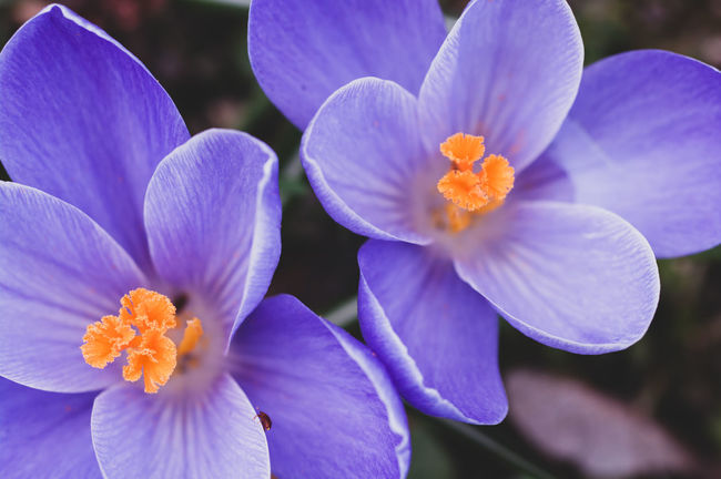 crocus flower head Beauty In Nature Botanical Species Botany Close-up Crocus Crocuses Day Flower Flower Head Flowering Plant Focus On Foreground Fragility Freshness Growth Inflorescence Nature No People Outdoors Petal Plant Pollen Purple Vulnerability