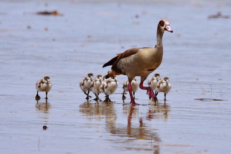Bird Family: The Duck and Ducklings of The Wild Bird Water Lake Young Animal Young Bird Duck Water Bird Animal Family Goose Duckling Female Animal Geese