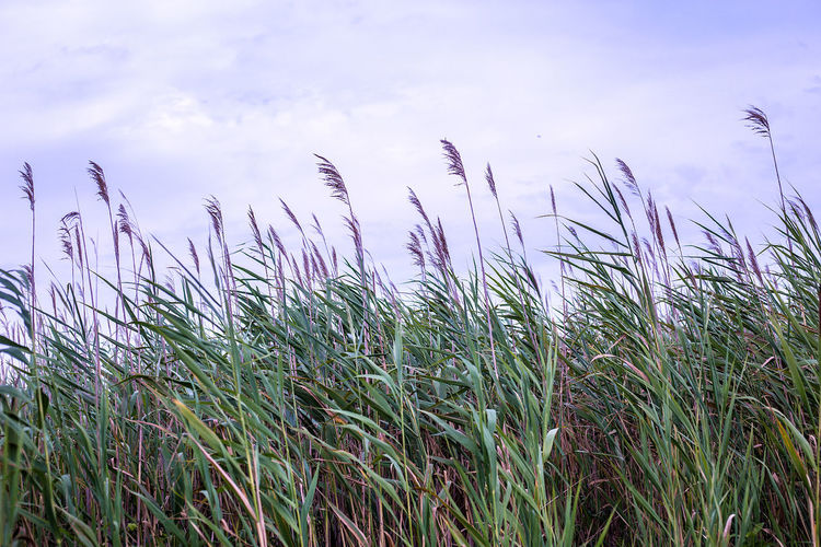 Sea oats sway in the wind at Island Beach State Park in New Jersey. Island Beach State Park Beach Beauty In Nature Cloud - Sky Day Grass Growth Jersey Shore Landscape Marshland  Nature Outdoors Plant Sea Oats Sky Tall Grass Tranquil Scene Tranquility Wind