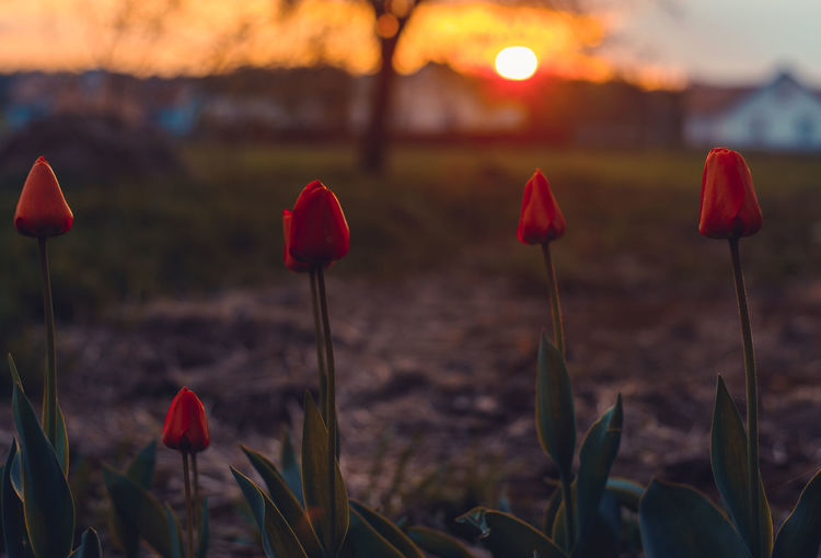Focus On Foreground Beauty In Nature Flower Flowering Plant Growth Sunset Red Plant Close-up Nature Land Vulnerability  Fragility Freshness Plant Stem Petal Field Flower Head Sky Inflorescence No People Poppy Tulip Outdoors