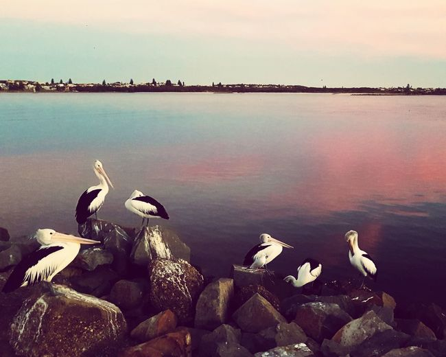 Animal Wildlife Water Reflection Nature Lake Outdoors Animals In The Wild No People Sunset Beauty In Nature Large Group Of Animals Bird Beach Scenics Flamingo Day Sky Animal Themes Tranquil Scene Water's Edge Pelican Pelicans And Sunset Dusky Shoreline Dusk Colours Dusk