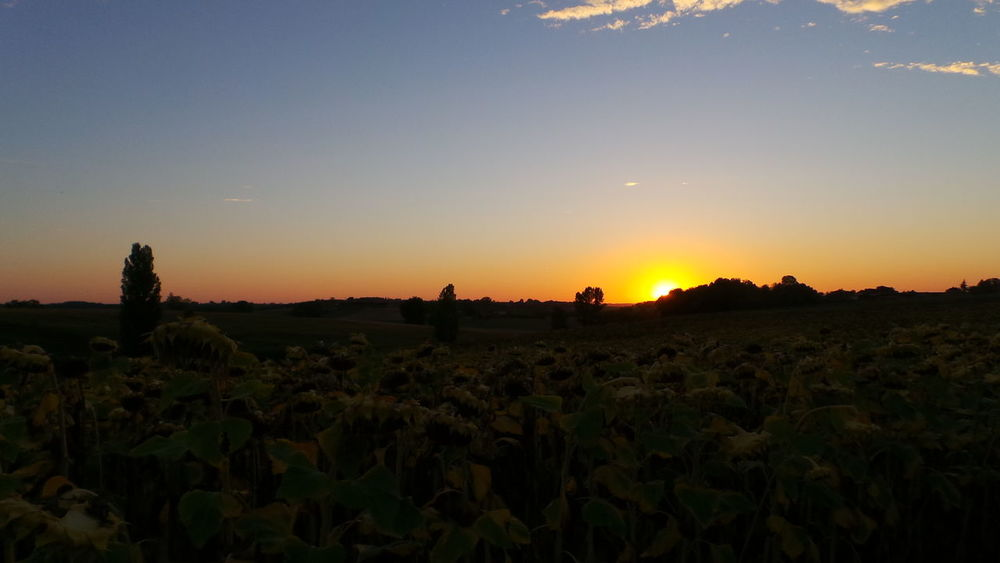Another day the sun goes down behind a field of sunflowers.