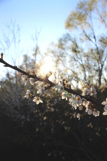 Sunlight Sun White Trees Flowers Plant Tree Fragility Vulnerability  Beauty In Nature Flower Flowering Plant Growth Sky Nature Branch No People Freshness Blossom Day Low Angle View Springtime Tranquility Focus On Foreground Close-up