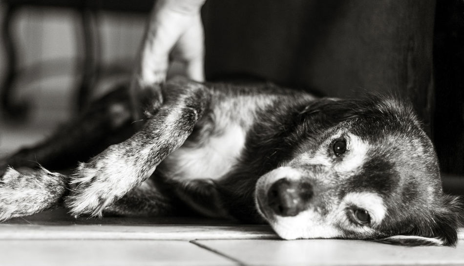 Black And White Pet Photography Close Up Dog Close Up Dog Portrai Close Up Portrait Closeups Dog Being Pet Dog Looking At Camera Dog Lying On Fl Dog Lying On Til Dog On Tile Dog Therapy Hand On Dog Hand Petting Animal One Eye In Focus Orlando Florida Out Of Focus On Purpose Pet Therapy Petting Dogs Puppy Love ❤ Sad Dog Sad Dog Eyes Selective Focusing