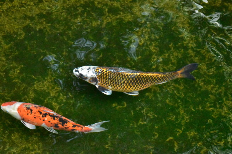 High Angle View No People Animals In The Wild Nature Animal Themes Animal Wildlife Outdoors Green Color Day Full Length Water Sea Life Carp Fish