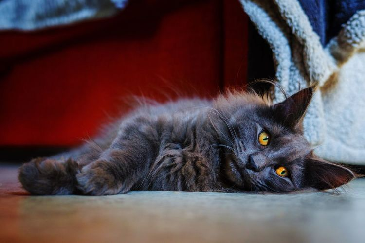 Chaton grandit... Cat Lovers Cats Of EyeEm Domestic Animals Pet Portraits Pet Photography  Norvegianforrestcat Pets Feline Portrait Domestic Cat Lying Down Sitting Close-up Yellow Eyes Kitten Cat At Home Animal Eye Pet Bed