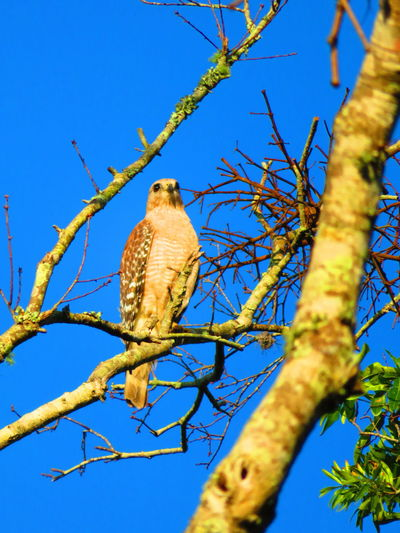 Wild hawk (April 30th) Florida Hawks Hawks Of Eyeem Hawk Bird Bird Of Prey Perching Tree Owl Branch Blue Cockatoo Clear Sky Sky Hawk - Bird