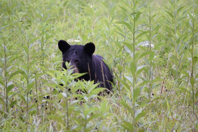 Bear Animal Animal Wildlife One Animal Grass Animals In The Wild Mammal Nature Plant Animal Themes Outdoors Day No People Bear Black Bear Animals In The Wild Cades Cove, Tennessee Cades Cove