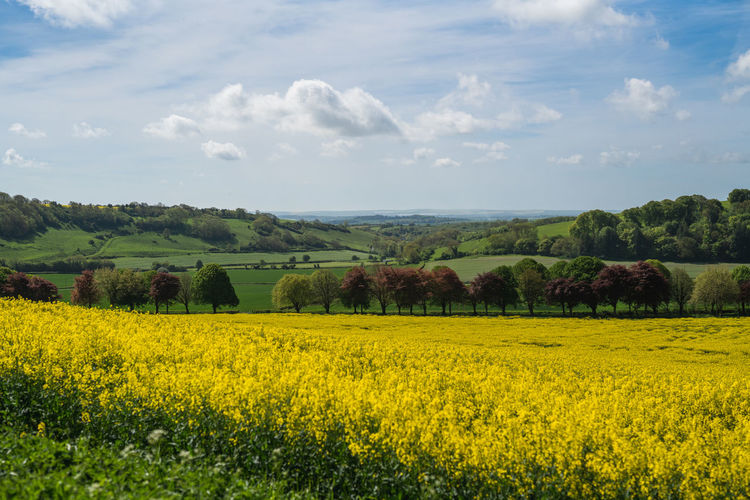 A landscape view of a rapeseed field in the heart of the English countryside. Landscape Yellow Beauty In Nature Growth Scenics - Nature Land Plant Flower Environment Tranquil Scene Sky Agriculture Oilseed Rape Field Tranquility Cloud - Sky Flowering Plant Rural Scene Day Nature Farm No People Outdoors Rapeseed Farming