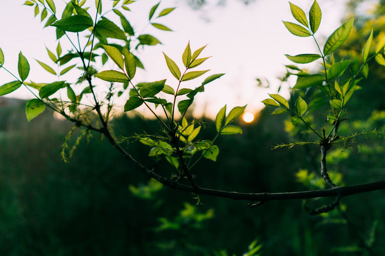 Sony A6000 Poland Plant Plant Part Leaf Growth Green Color Tree Focus On Foreground Nature Beauty In Nature Day Outdoors Close-up No People Branch Selective Focus Tranquility Freshness Sunlight Low Angle View Plant Stem Leaves