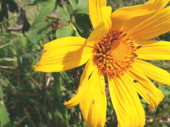 Yellow Flower Petal Fragility Flower Head Nature Beauty In Nature Freshness Pollen Focus On Foreground Close-up Growth Sunflower Plant No People Outdoors Blossom Day P9 Huawei P9