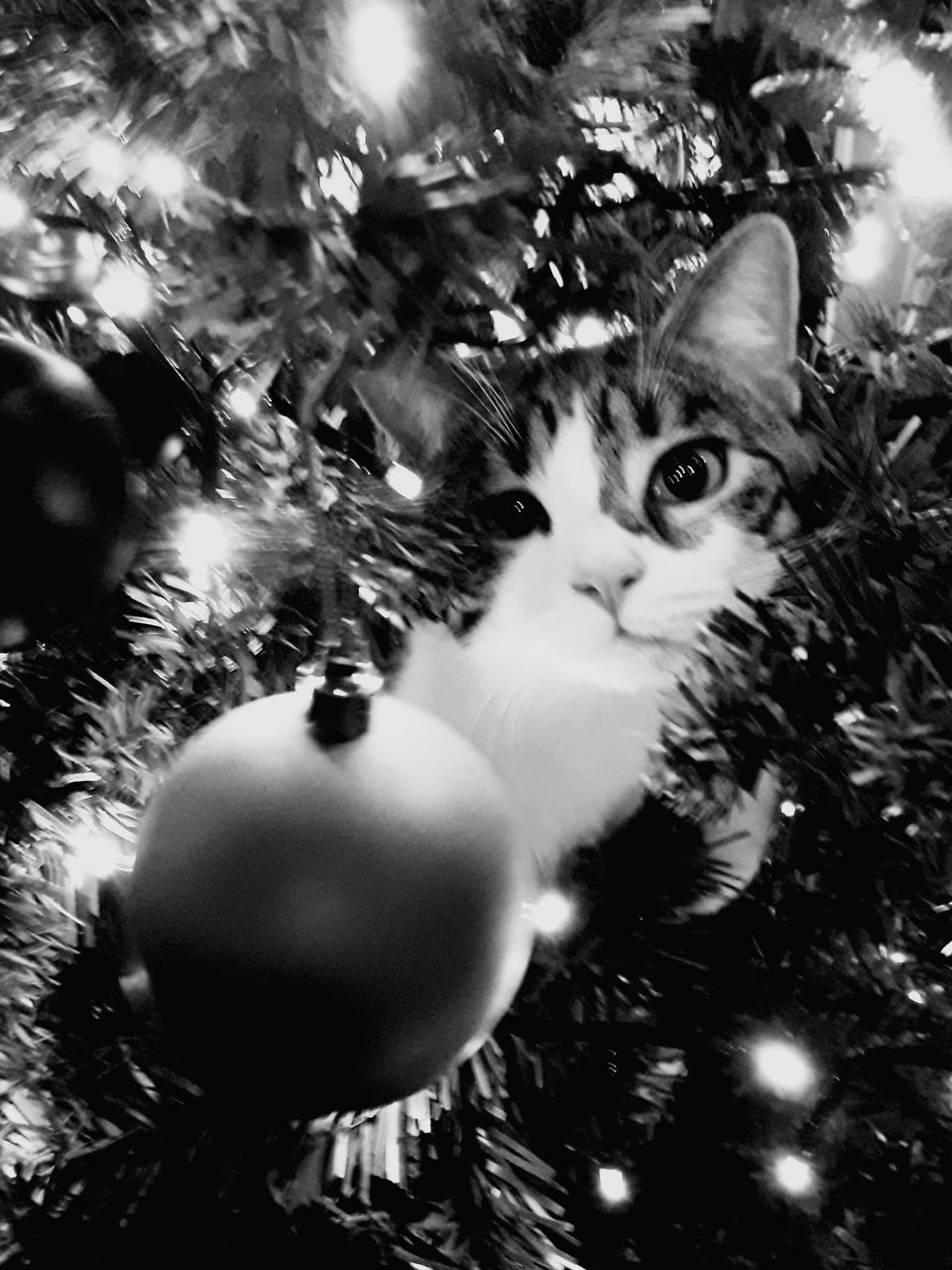 christmas, christmas ornament, domestic cat, christmas decoration, domestic animals, christmas tree, celebration, pets, tree, indoors, one animal, feline, mammal, no people, portrait, animal themes, close-up, day