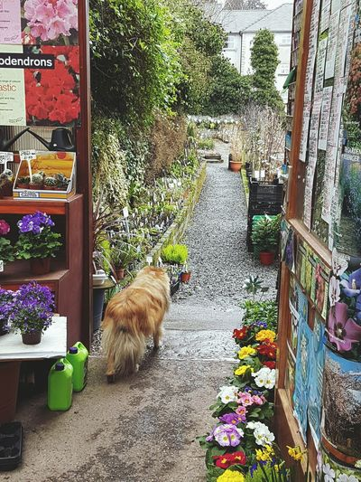 Jasper my new boss just leaving the office....!! Workplace View I Love My New Job Pets Animal Themes Dog Sheltie Jasper No People Garden Centre Outdoor Life Animal Friendship Primulas Plants And Trees Pathway Plants For Sale