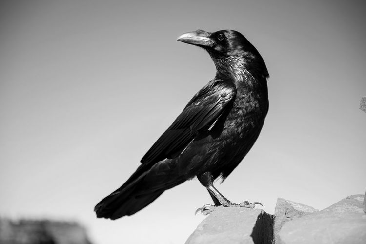 Close-Up Of Raven Perching On Rock Against Sky