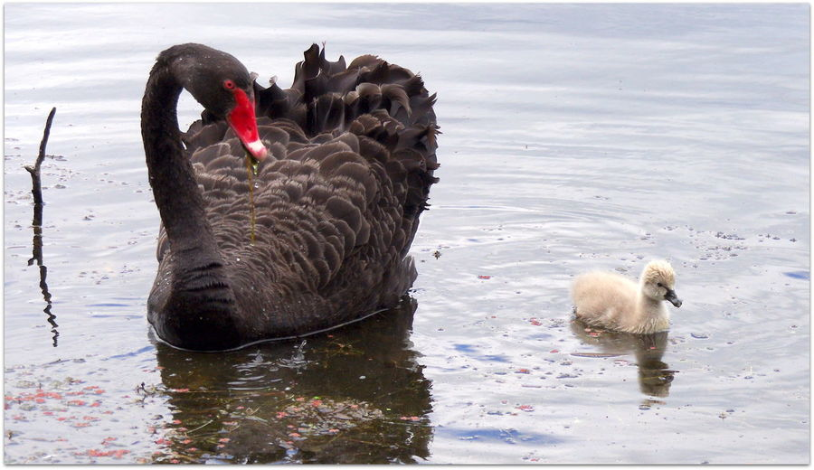 Animal Themes Animals In The Wild Beauty In Nature Black Swan Day Kaikoura Lake Mammal Mother And Child Mother Nature Is Amazing Nature Newzealand No People Outdoors Swan Swimming Water Waterfront EyeEm Diversity
