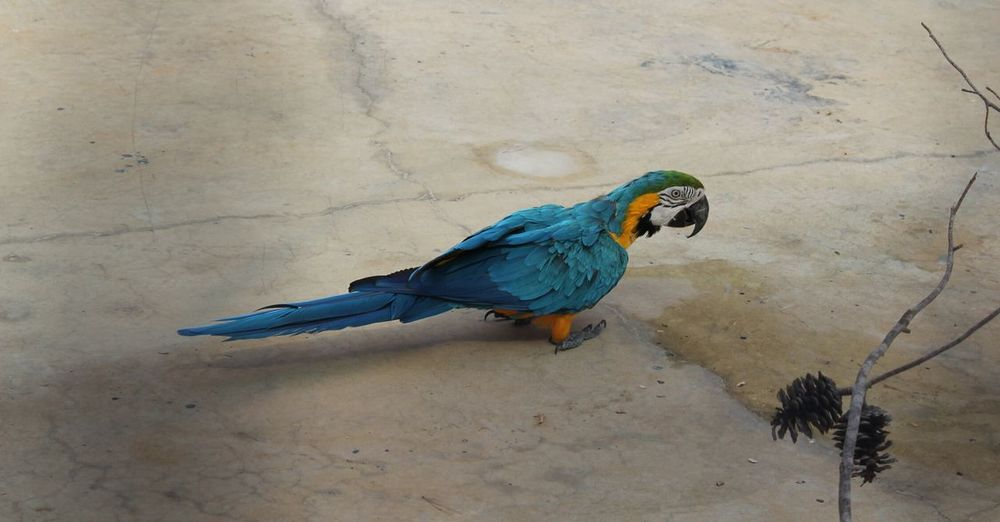 Side View Of Gold And Blue Macaw