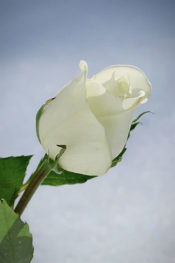 Close-up of white rose