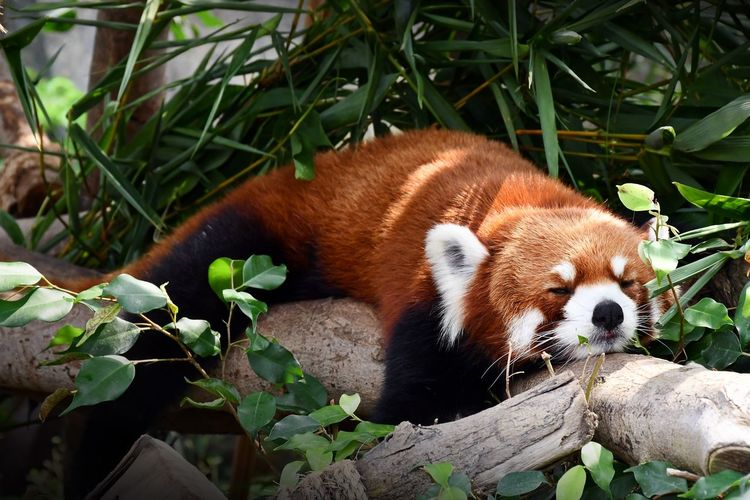 lets take a nap...... Red Panda Take A Nap Im Lazy Beautiful Animal Hair Hong Kong Hong Kong Ocean Park Eyeem Animal EyeEm Hong Kong Sleep Under The Tree I Dont Want To Move