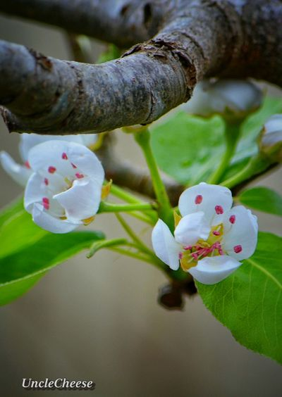 Pear blossoms ~