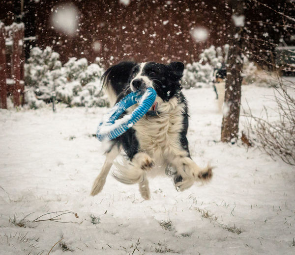 A border collie brings a toy back while playing fetch in the backyard. Shades Of Winter Border Collie Frisbee Jump Animal Themes Cold Temperature Cute Day Dog Domestic Animals Fetch Full Length Mammal Motion Nature No People One Animal Outdoors Pets Play Running Snow Snowing Winter Shades Of Winter