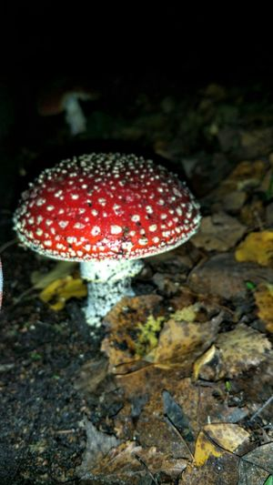 Mushroom Red Fungus growth High Angle View Close-up Nature Toadstool No People Outdoors Spotted Day Freshness Darkness And Color Darkness And Beauty Eyyem The Best Fly Agaric Mushroom My Point O View On My Way Happyness I Like Eyyem I Have Found It Red And White Colour Beauty In Nature