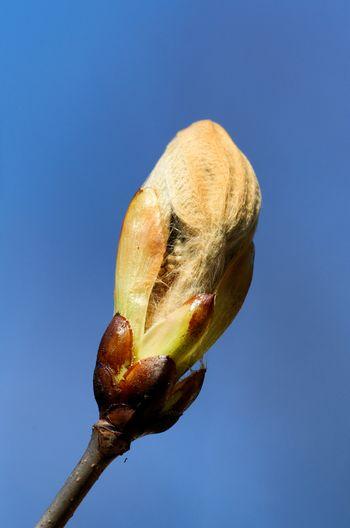 Chestnut bud against clear blue sky in springtime