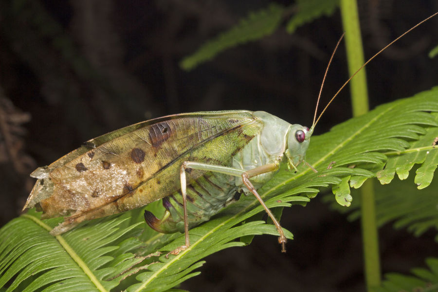 Orthoptera Animal Themes Animal Wildlife Animals In The Wild Beauty In Nature Belalang Close-up Day Grasshopper Insect Nature Insect Katydid Leaf Macro Photography Nature No People One Animal Outdoors Tettigoniidae Up Close Wildlife Photography Wildlife,
