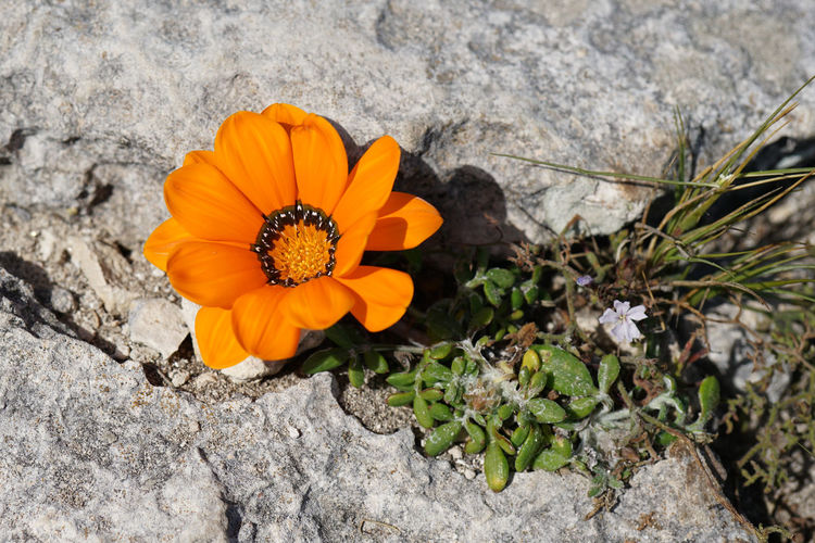 High angle view of orange flower on rock